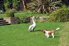 Mot'ka and young swan (Caulker) Tags: canonspark dog motka swan 28032017