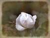 Enchanted Rosebud (ladyinpurple) Tags: lightroom topaz adjust simplify texture temari09 rosebud white