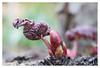 Bursting buds (leo.roos) Tags: buds knoppen red rood spring lente leaf leaves blad bladeren tessar exakta meyerprimotar8035 a7rii dayprime day80 dayprime2017 dyxum challenge prime primes lenzen brandpuntsafstand focallength fl darosa leoroos