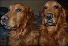 """ You're not being funny Hershey ! "" (KLF & JRN) Tags: kjphotography goldenretriever fieldretriever pointynoseddogs snow dog pet animal brantfordontario brantford funny funnyfaces interestingdogposes"