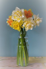 When the wind blows .... (JulieK (enjoying Spring in Co. Wexford)) Tags: 2017onephotoeachday 117picturesin2017 stilllife daffodils vignette kitchen blooms flowers ireland irish wexford canoneos100d