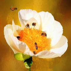 Happy Easter to everyone!! (BirgittaSjostedt) Tags: flower bee peony closeup texture paint birgittasjostedt magicunicornverybest ie