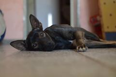 Pastor (rmarturet) Tags: perro dog dogs mascota corrientes perros casa argentina love amor amigo mejor del hombre nikon 50 mm 50mm nikkor feiz feliz happy d3200