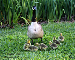 IMG_2571_Mother Goose and goslings (sdttds) Tags: mothergoose goslings birds davis 365in2017 pictureoftheday 2017 2017yip 365 project365 canadasnowgeese canadagoose brantacanadensis northstarpark 94365 04apr2017 waterfowl