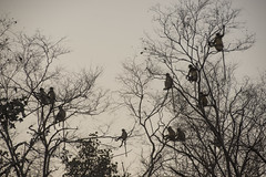 Jungle Alarm (Shubh M Singh) Tags: ranthambhore india rajasthan wildlife langur hanuman tree silhouette forest jungle alarm call