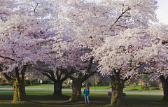 cherry blossoms queen elizabeth park vancouver (yuanxizhou) Tags: spring life photography morning light sunrise wonderful amazing colors beautiful britishcolumbia cherry blossom pink vancouver