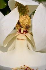 Beesy Magnolia (jiturbe) Tags: magnolia flower macro bees nature abejas flor 2880f3556
