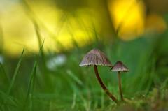 Mushroom pair at Mona Vale (Yani Dubin) Tags: white gold canterbury christchurch bokeh mushroom tokinaaf100mmf28macro bokehlicious newzealand gimp color autumn macrophotography nature colour monavale d7000 plant fungus brown green moss fungi macro darktable