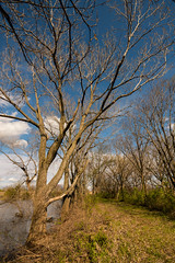 Bigger Pond Walk (thefisch1) Tags: tree cottonwood sky cloud grass trunk limb cumulus water pond kansas interesting colorful