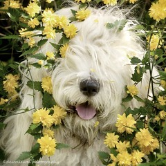 """Sophie """" explore """" (dewollewei) Tags: old english sheepdog oes bobtail oldenglishsheepdog sophieandsarah sophie hond dogs lente spring kerria nose yellow explore explored white perro"""