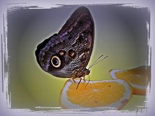Caligo eurilochus  -  Bananenfalter