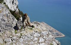 Rock Ape (Barbary Macaque) (7584) (shelleyK2) Tags: gibraltar macaque wildlife animal rock nature canon60d outdoor rockape barbarymacaque