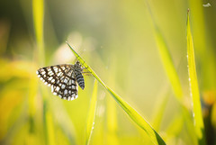 Night and day active (VandenBerge Photography (this week mostly absent)) Tags: latticedheath macro dof bokeh butterfly moth chiasmiaclathrata nature nationalgeographic closeup field grass green switzerland europe insect canon ef100mmf28lmacroisusm