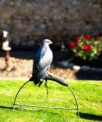 Àguila (carlesbaeza) Tags: àguila águila ocell pájaro bird nature wild beautifulimages flickr