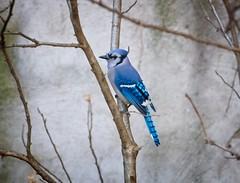 Blue jay (Goggla) Tags: nyc new york east village 6th street community garden urban wildlife bird blue jay bluejay goglog