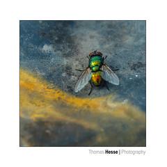 the fly (Der Zeit die Augenblicke stehlen) Tags: deutschland eos700d fliege hth56 insekt texturen thomashesse tierwelt