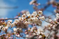 Sakura (ulla*) Tags: topw toronto high park