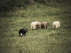 P4230652 (zullo_stefano) Tags: dog pet farm sheep sheepdog herding workingdog shepperd italy nature green fiield olympus e5 zuiko training border bordercollie