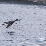 Lesser Yellowlegs Flight 783 thumbnail