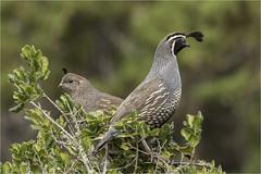 California Quail Pair Atop Small Oak (marlin harms) Tags: callipeplacalifornica californiaquail quailpair