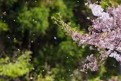 falling cherry blossom (Maccro.markun) Tags: landscape flower field outdoor spring garden tree cherryblossom blossom japan cherry falling fall