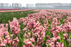veld met roze hyacinthen (angel_screenname) Tags: bulb field tulp tulip holland netherlands bollenveld lente spring beautiful colours bloemen bloeien molen hyacinth hyacint