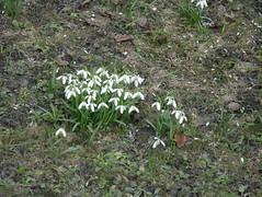IMGP2309 (Alvier) Tags: araschgen chur daheim frühling blumen krokus schneeglöggli osterglocken