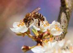 Bienchen und Blümchen :-D (Schneeglöckchen-Photographie) Tags: pflaume plum frühling spring biene bee