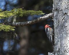 Sapsucker 312 (Gillfoto) Tags: sapsucker redbreasted woodpecker alaska juneau sphyrapicusruber