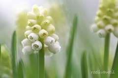 White happiness (roelivtil) Tags: flower grapehyacinth white wit macrodreams