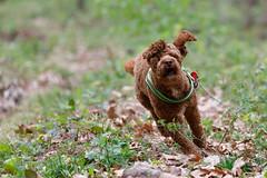 Cute dog: Go!