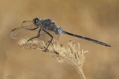 Trinacria (Pipa Terrer) Tags: orthetrumtrinacria odonata campodecartagena libélula dragonfly insecta anisoptera