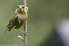 Verdier d'europe_170405_DDO (f.chabardes) Tags: 2t europeangreenfinch passériformes espacenaturel avril fringillidés zoneshumides apaffûtpalissade 2017 france occitanie ariège domainedesoiseaux mazères oiseaux verdierdeurope zoneaugé animaux carduelischloris