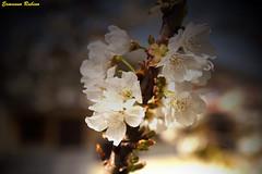 Spring_1 (ermy70) Tags: saliceto giardino garden cherry ciliegio ciliega fiori flowers fleurs langa langar langhe altalanga