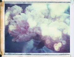 Aurora (Joann Edmonds) Tags: roidweek polaroidweek polaroid land 450 669 expired dreamscape flowers floral flora multipleexposures packfilm peelapartfilm peony sparkles magic specularhighlights