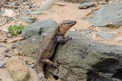 Gran Canaria Giant Lizard (Philip McErlean) Tags: gallotiastehlini giant lizard gran canaria meloneras lagarto eidechse lézard
