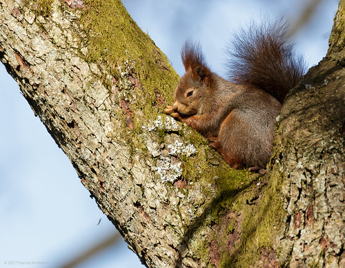 Red Squirrel Resting in Tree Fork