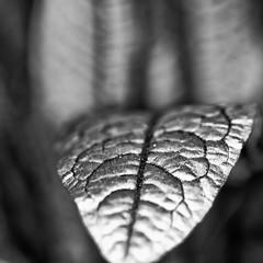 Sauerampfer #4 (efgepe) Tags: macro makro pentaxk1 sauerampfer einstein ringelnatz bw sw schwarzweiss blackwhite silverefexpro lightroom sigma70mm28dgmacro sigma70mm