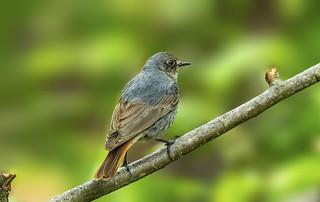 Black Redstart - Phoenicurus ochruros - female - Šmarnica 2