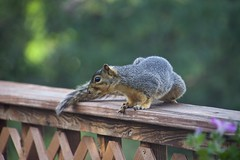 What is that smell? (Pejasar) Tags: deck tail squirrel mammal spring 2017 tulsa oklahoma alert