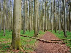 Young Beech Forest (gerrit-worldwide.de) Tags: beechforest forest beech buchenwald jasmundnaturereserve nationalparkjasmund jasmund nationalpark woods rügen rügenisland mecklenburgvorpommern olympus em1 panasonic lumixg2017
