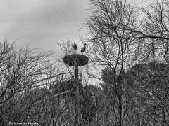 2293  Reserva Africana de Sigean, Francia (Ricard Gabarrús) Tags: fauna zoo ave aves animal animales pagaro cigueña flamenco ricardgabarrus airelibre cielo nubes olympus ricgaba naturaleza