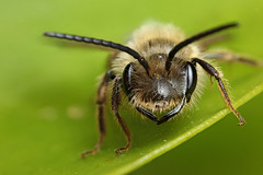 Male miner bee portrait #2 (Lord V) Tags: macro bug insect bee minerbee