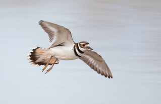 Killdeer if Gilbert water ranch az