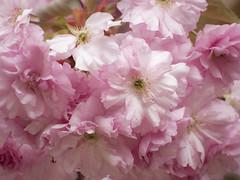 _4220464 Cherry Blossoms 3 (idunavision) Tags: bielefeld nrw ostwestfalenlippe kirschblüten cherryblossoms tree baum olympus leica
