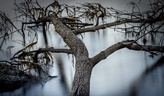 Sprawling (Martin Snicer Photography) Tags: longexposure nature tree sprawling narrabeen lake fineartphotography