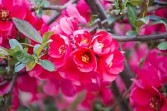 IMG_0281 (vargabandi) Tags: chaenomeles vargabandi garden red blossom