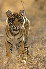 Portrait of a cub (dickysingh) Tags: tiger ranthambore ranthambhorenationalpark india wild wildlife