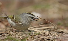 Golden-crowned Kinglet (Jeannine St. Amour) Tags: bird kinglet goldencrownedkinglet nature wildlife migration ottawa