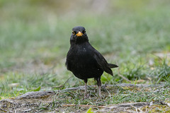 sD40_4988 (Eyas Awad) Tags: eyasawad nikond4 sigma500f45 bird birds birdwatching wildlife nature merlo turdusmerula